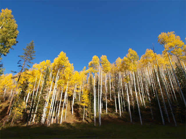 Aspens, Vail Mountain