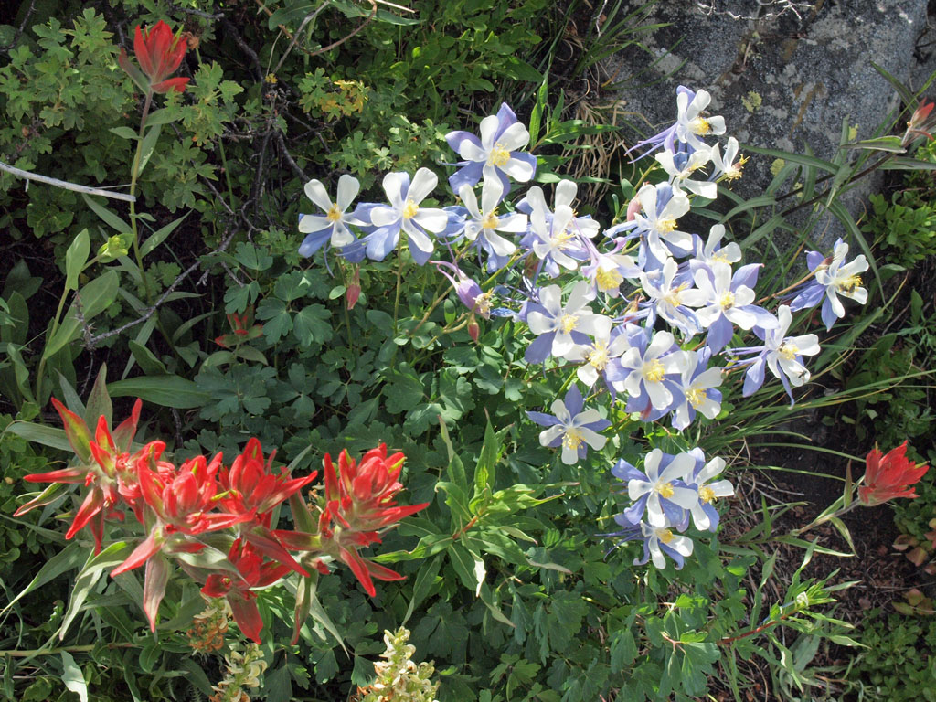 Columbines, Indian Paintbrush