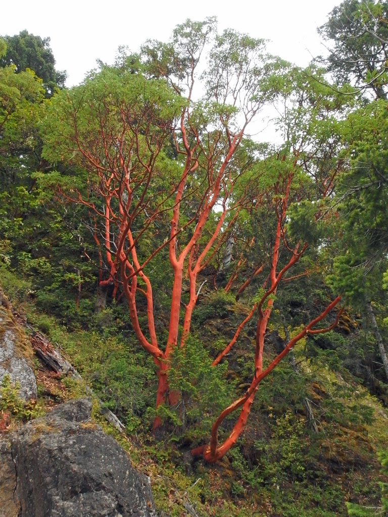 Madrone tree, Crescent Lake