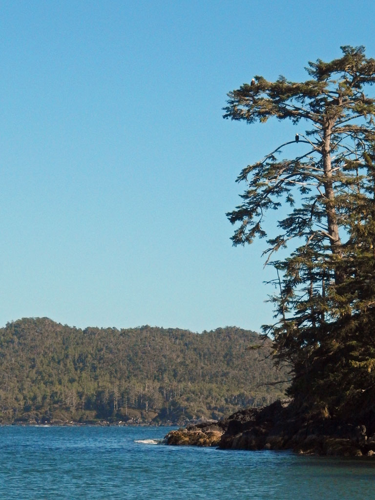 bald eagles, Chesterman Beach, Tofino