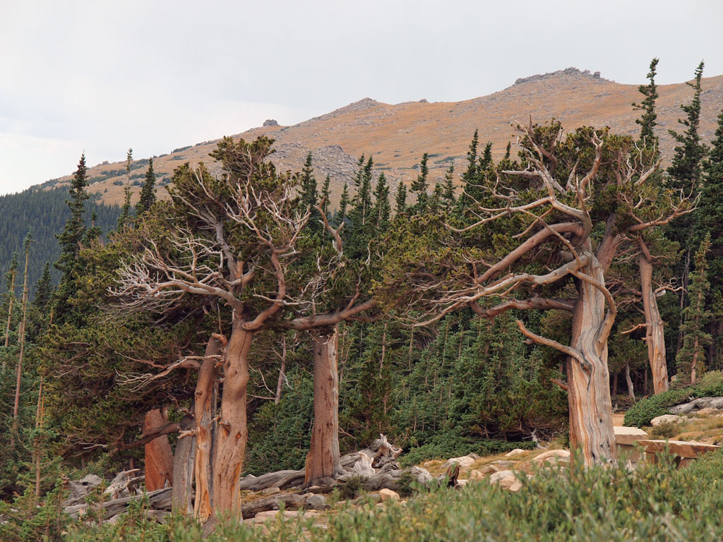Bristlecone pines, Mount Goliath Natural Area