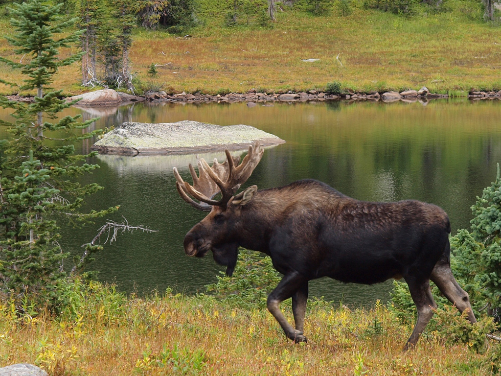 Bull moose, Timber Lake