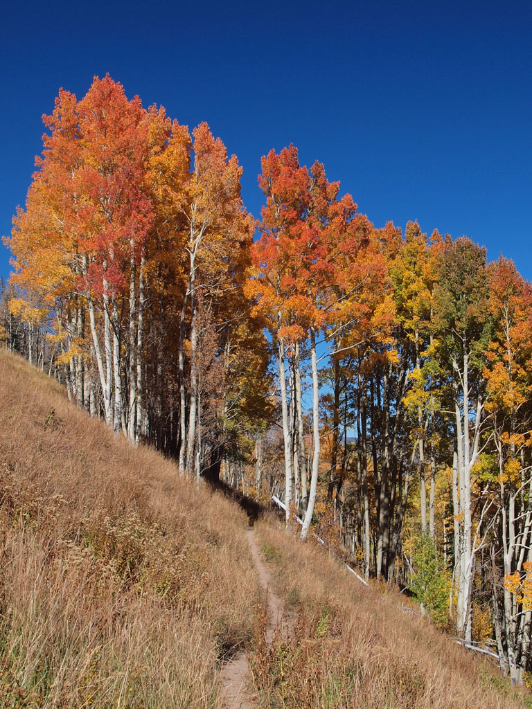 Red-colored aspens, Eaglesmere trail